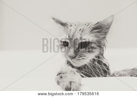 Cute ginger cat after a bath, funny little demon, black and white