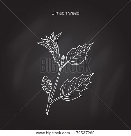 Datura stramonium, or Thorn apple, devil s trumpets, moonflowers, Jimsonweed, devil s weed, hell s bells. Poisonous and medicinal plant. Hand drawn botanical vector illustration