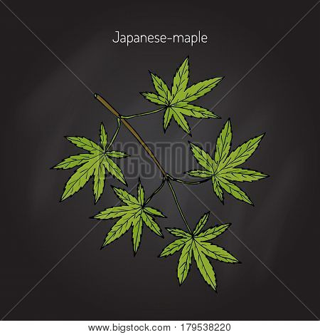 Acer japonicum, Amur maple, Japanese-maple, or fullmoon maple. Hand drawn botanical vector illustration