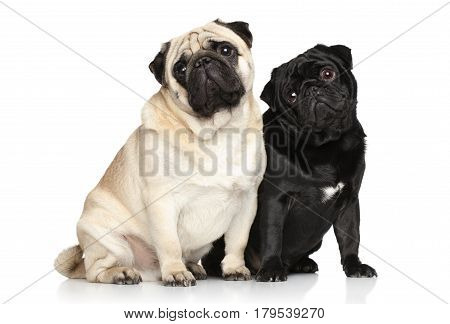 Two pugs. Portrait on a white background