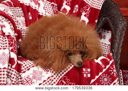 Poodle Puppy Lying On Red Blanket