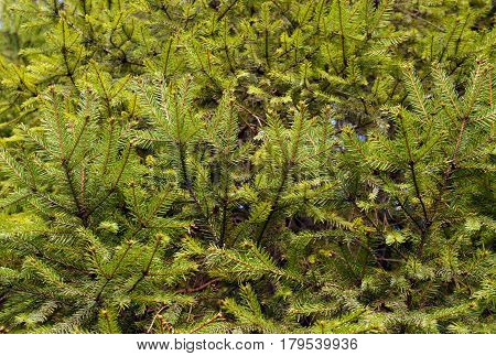 Conifers fir branches green needle texture (background).