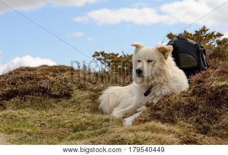 the beautiful Pyrenean Mountain dog lying in the grass