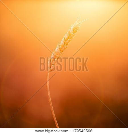 One wheat ear at sunset. Shallow focus.