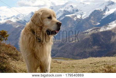 the beautiful Pyrenean Mountain dog snow background