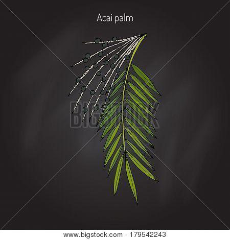 Acai palm Euterpe oleracea . Superfood. Hand drawn botanical vector illustration