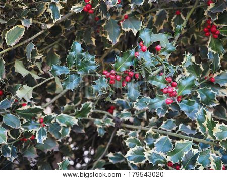 Christmas Holly Plant