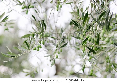 Green mediterranean olives and leaves plant branch