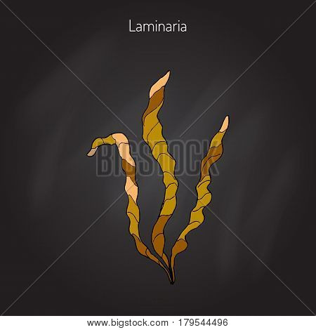 Saccharina latissima, or kelp, laminaria, sea belt, Devil s apron. Hand drawn vector illustration