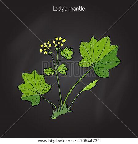 Alchemilla vulgaris, common lady s mantle. Medicinal herb. Hand drawn botanical vector illustration