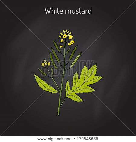 White mustard Sinapis alba . Kitchen hand-drawn herbs and spices. Botanical vector illustration