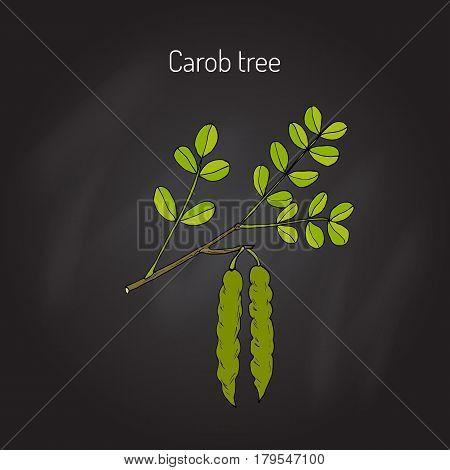 Carob eratonia siliqua , or carob tree, St John s-bread, locust bean. Hand drawn botanical vector illustration