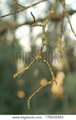 Fork shaped twig with golden lichen shallow focus with bokeh in park in San Jose