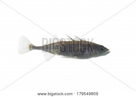 little fish stickleback on  a white background