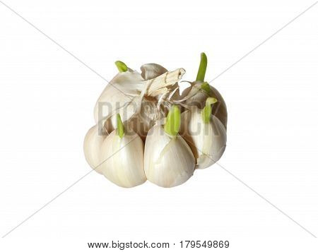 germinating garlic with roots on white background