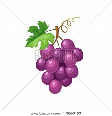 Violet grape iicon solated on white background.