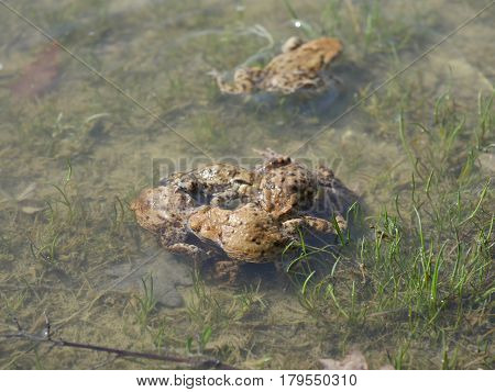grey toads amplexus in water (bufo bufo)