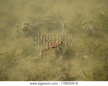 gray toad in water and folded eggs (bufo bufo)
