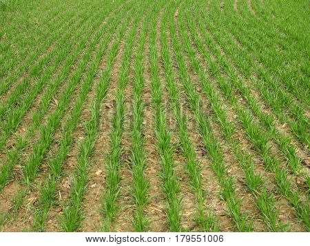 cultivated field with growing grain nature background