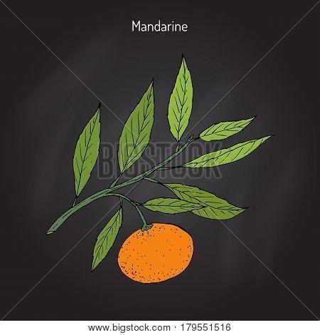Mandarin orange Citrus reticulata branch with leaves. Hand drawn botanical vector illustration
