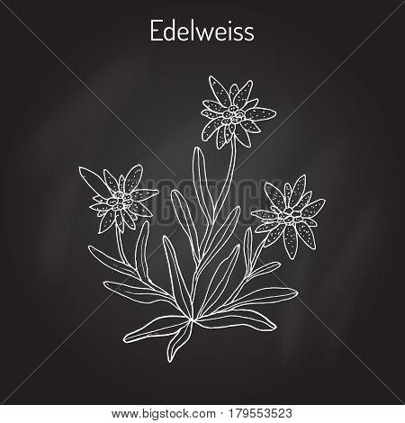 Edelweiss leontopodium alpinum flower. Hand drawn botanical vector illustration