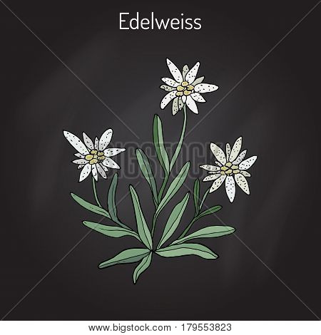 Edelweiss leontopodium alpinum flower. Hand drawn botanical vector illustration