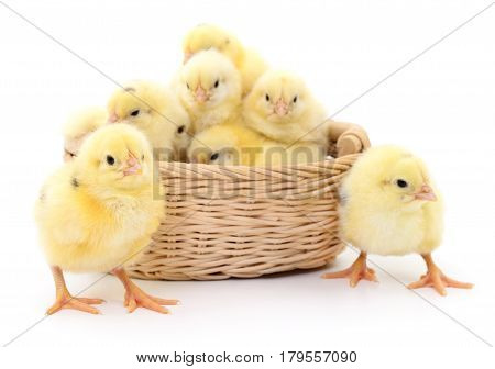 Chickens in basket isolated on white background.