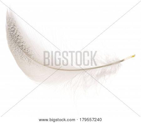 White bird feather isolated on white background.