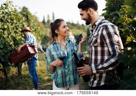 Winegrower couple harvesting grapes in vineyard to make wine