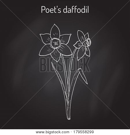 Narcissus, or daffodil, daffadowndilly, jonquil  Hand drawn botanical vector illustration