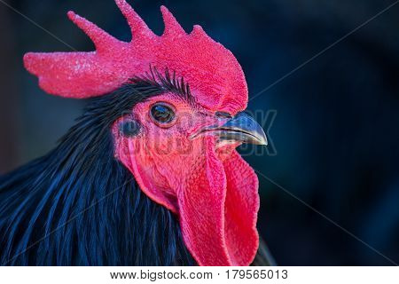 Black feathered red comb head of Australorp rooster