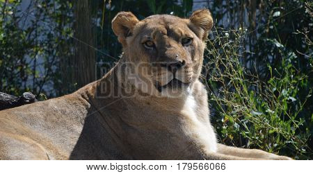 Beautiful Lioness sitting in the hot sun