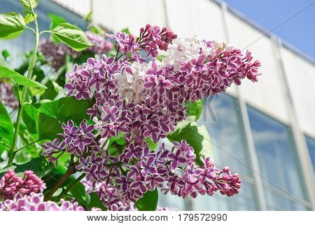 Blooming varietal selection two-tone lilac (Syrínga). The Sort Of