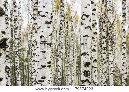 Birch trunks in autumn forest close up as background