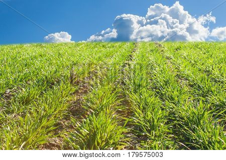 Growing grain. Sown crop. Growing on a farm field. Green shoots of plants.