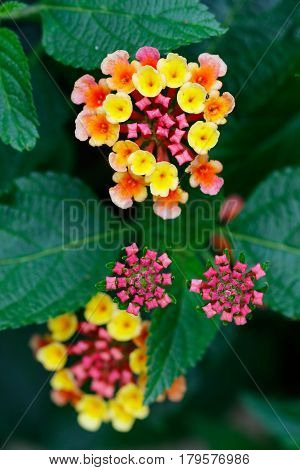 Detail of the blooms of flower - flowering