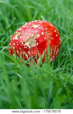 Detail of the Amanita Muscaria in green grass