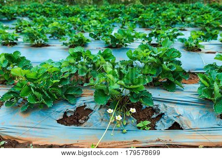 Agriculture farm of strawberry field. Ripe and unripe organic strawberry fruit growing on plantation. Outdoor at the daytime.