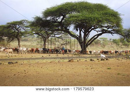 Mombasa Kenya - January 01 2017: A large herd of cows in Kenya Mombasa