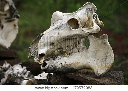 Old skull of a beef cow close-up
