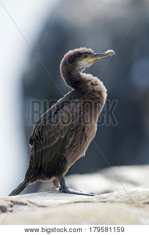 European Shag (Phalacrocorax aristotelis) on rocky coastline of the Farne Islands