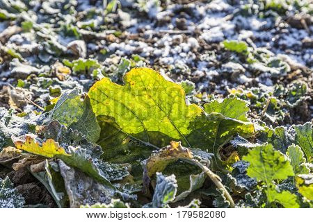 Frozen Leaves At The Field