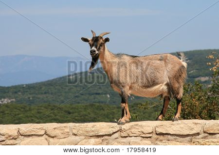 Goat on stone wall with scenic outlook