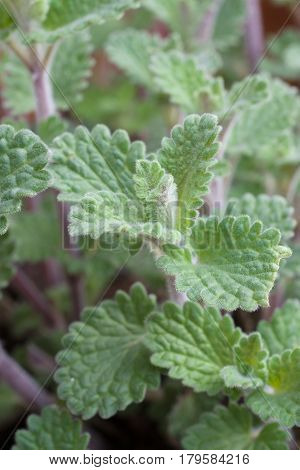 Cat mint or Nepeta faassenii an herbaceous perennial the nepetalactone contained in the plant typically results in temporary euphoria in cats