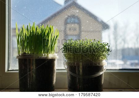 Green grass in a flowerpot on sunny spring day