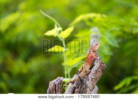 Chameleon on stump is local animal in Thailand.