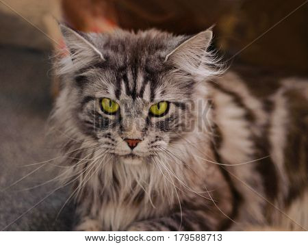 Maine Coon. The largest cat. Portrait of grey big cat main coon at home. Close up of handsome adult maine coon on blur background.
