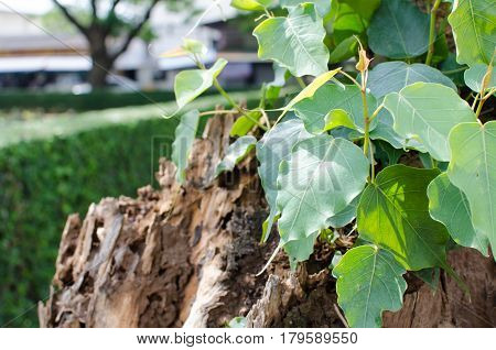 Small green leaves of  Bodhi tree and symbol buddhism.
