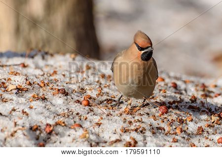 Beautiful bright bird waxwing close-up and small apples on snow