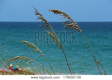 Sea Oats waving gently by the sea.